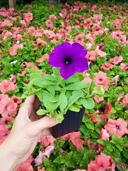 Treehouse Nursery Petunia