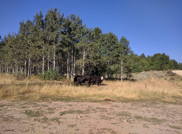 Onlooking Cattle